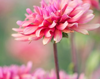 "Discounted 8x10"" dahlia photo print - hot pink fuchsia botanical art print"