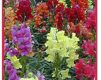 Snapdragon- Morrocan,  100 seeds each pack