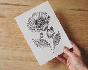 Opium Poppy. Hand signed 220gsm print.