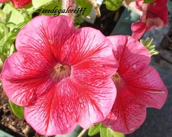 Petunia Daddy Strawberry Red * 25 Seeds