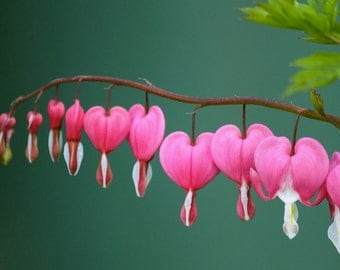 10 Bleeding Heart Seeds