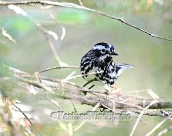 Black and White Warbler Photography Birding Passerine Avian Ornithology Birder Art Mniotilta varia Striped Songbird Photo Animal Bird Print