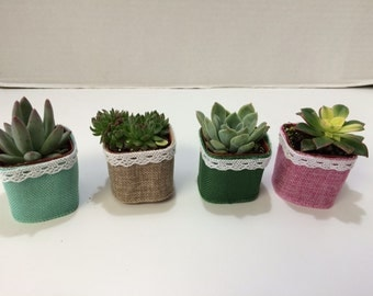 Succulent Plants. Assortment of 70 Shower or Bridal Favor Succulents with Burlap, Lace and Optional Ribbon Trim.