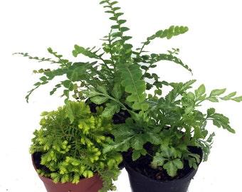 """Mini Ferns for Terrariums/Fairy Garden - 3 Different Plants-2"""" Pots"""