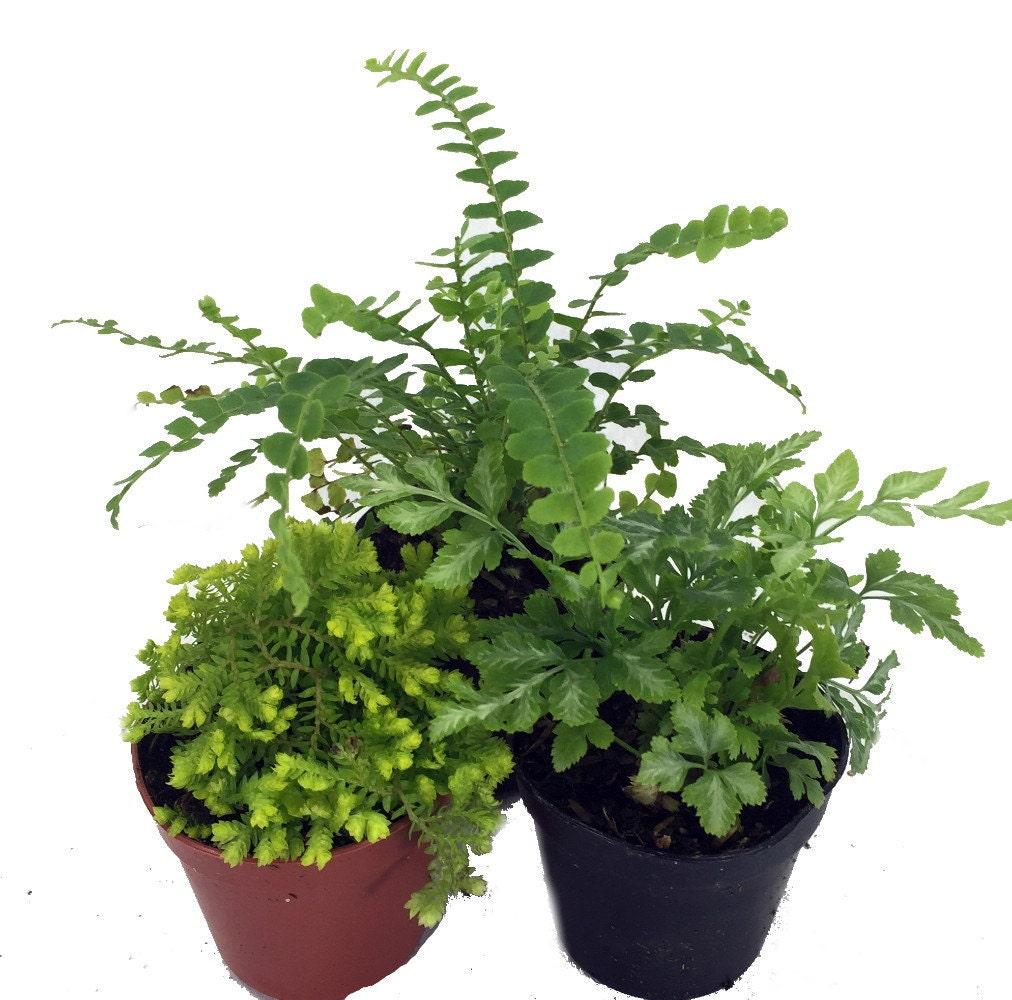 mini ferns for terrariums fairy garden 3 different plants 2 pots from hirtsgardens on etsy studio. Black Bedroom Furniture Sets. Home Design Ideas