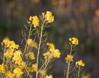 Yellow Wildflowers - Fine Art Nature Photograph, Home Decor, Wall Art Print