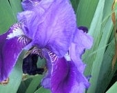 Purple with white beards 3 Tall Bearded Iris Perrnnial Plant • Pre-Sale