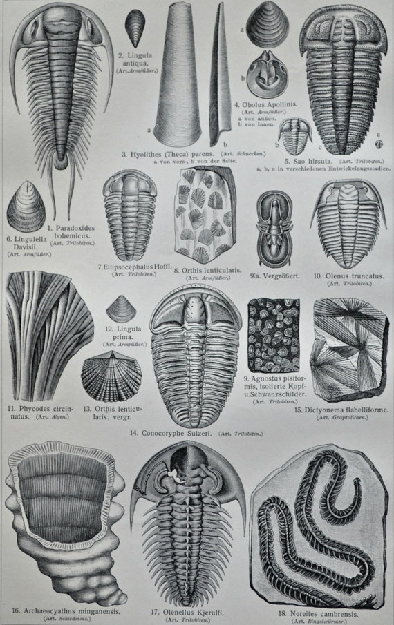 Cambrian fossils. Paleozoic Era.  Old book plate, 1904. Antique  illustration. 111 years lithograph. 9'6 x 6'2 inches.