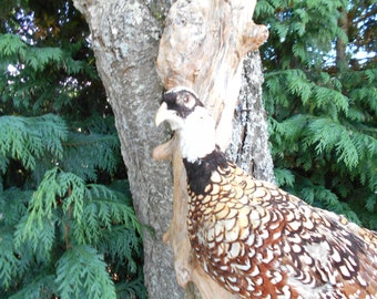 REDUCED from 90 to 70e Beautiful Taxidermy French Pheasant