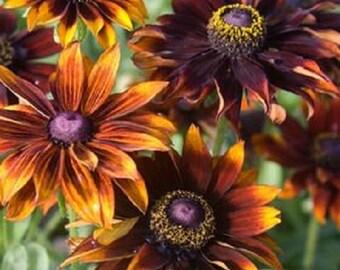 Rudbeckia Moreno  Flower Seeds / Hirta / Perennial 30+