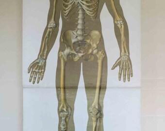 Vintage German School Wall Pull Down Chart Map of the Human Skeleton (Homo Sapiens) Biology, Medical Anatomy, Illustration, Medicine,Science