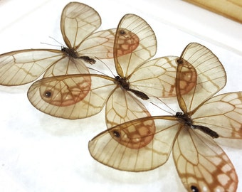 FREE SHIPPING Real Framed Cithaerias Aurorina Female Trio Satyr Glasswing Butterfly Taxidermy A1