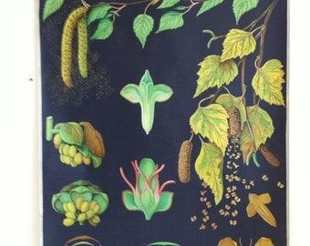 Vintage Jung Koch Quentell botanical chart of The Birch!