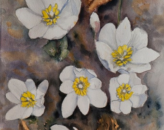 Spring Flower Bloodroot Blood-root Nature Watercolor Painting - Original Art