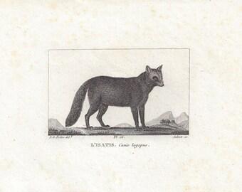 Artic Fox (L'isatis) - Antique French animal engraving, c1815.