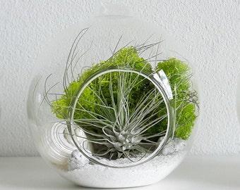 Air plant terrarium kit with Fuchsii var. Gracillis - hanging glass orb tillandsia gift present birthday
