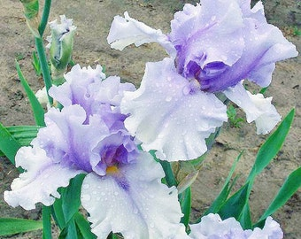 1 TALL BEARDED IRIS Rhizome/Bulb - Willamette Mist - Fall Shipping