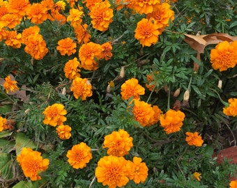 Marigold Seeds - Homegrown Organic - Free Shipping