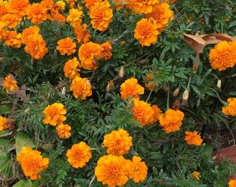 Marigold Seeds - Homegrown Organic - Free Shipping