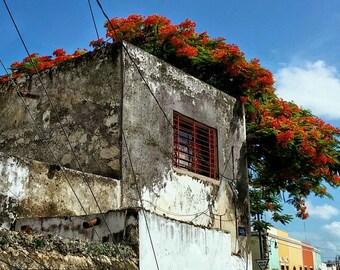 La Ventana Roja y Flamboyanes. Flamboyant Trees in Merida, Yucatan, Mexico.