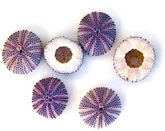 "Beach Decor - 1 Natural Purple Sea Urchin - 1"" or 1.5""-2"""