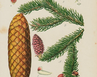 Antique print, 1896 old BOTANICAL print, lovely chromolithograph of Pine tree and pine cone
