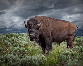 National Mammal the American Buffalo in Yellowstone National Park  in Wyoming No.3586 A Bison Wildlife Animal Landscape Nature Photograph
