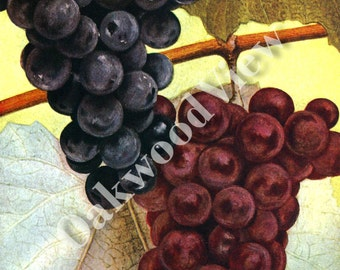 Concord & Catawba Grapes Print, Vintage 1994 8x12 Home Decor Botanical Art, Botany, Fruit Grape Varieties, Bunch Bunches, FREE SHIPPING