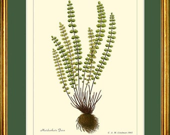 MAIDENHAIR FERN - Botanical print Reproduction -  504