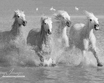 Run, Run Run White Horses -  Fine Art Horse Photograph - Horse -  Camargue - Black and White - Fine Art Print