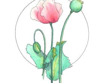 poppy No. 2    original drawing in watercolor pencil & ink