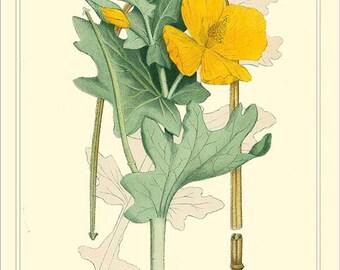 YELLOW HORNEDPOPPY -  High resolution Vintage botanical reproduction digital file - 1901