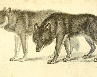 Two wolves drawing vintage illustration Digital Download