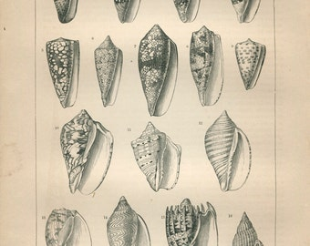 1889 Vintage Print Sea Snails Cones and Volutes,  Black and White Engraving,  Marine Life