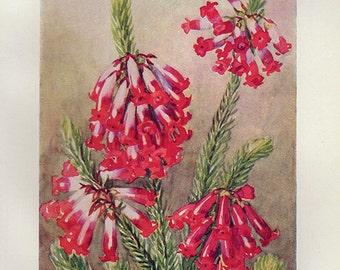 Vintage 1935 Botanical Print Antique ROYAL HEATH Flowers plant print botanical print, red bookplate art print plants plant wall