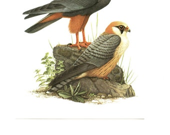 Red footed falcon print 1959 Vintage Bird art posters Birds of prey painting Falco vespertinus poster Falcon illustration Bird prints