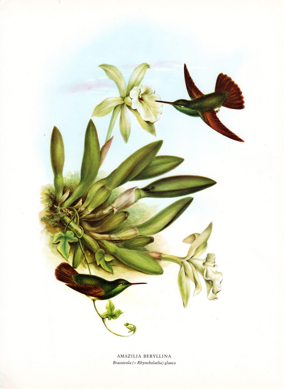 hummingbird print folio antique bird print orchid botanical print mexico limited edition vintage bird print