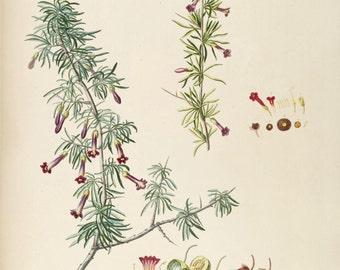 Lycivm I and II - Botanical Late 1700s Vintage Print