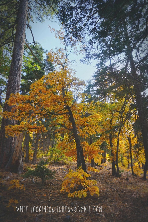 Golden Tree Photo | Big Bear Woodlands Photo Art | Autumn Forest Photo | Fall Tree Print | Big Bear California Nature | National Forest Tree
