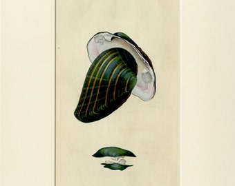 1800 SEASHELL Print Wall Art - Antique Hand Colored Engraving by Donovan - Matted 9x12 - Beach House Decor - Marine Life, Nautical