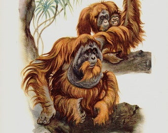 1961 vintage monkey print, orang-outang