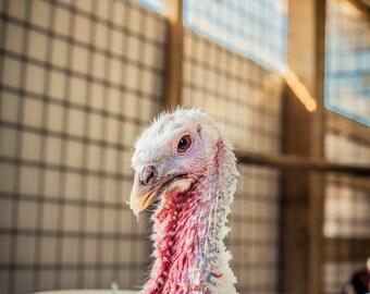 Tomasina Turkey Hen, Farm Animal Rescue Turkey Portrait Photography