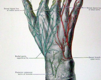 Human Skeleton Hand Print, Antique Anatomy,  Front & Back Pages, Medical student gift,  Print of Wrist,  Nerves and Bones  FREE SHIPPING
