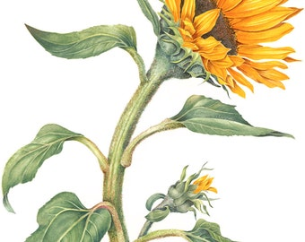 Sunflower Botanical Print - Watercolor Painting Art by Sally Jacobs - Botanical Flower Yellow Green
