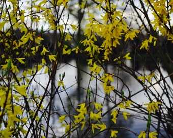 Yellow Forsythia Flowers With Water And Contrasting Grey Skies
