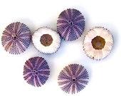 "Beach Decor - 1 Natural Purple Sea Urchin - Choose 1"" or 2"" - seashells seashell sea shells sea shell"