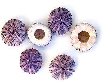 "Beach Decor - 1 Natural Purple Sea Urchin - Choose 1"" or 2"" - seashells seashell sea shells sea shell"