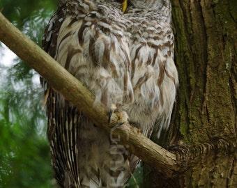 Sleepy Barred Owl Photo Print (Lustre)