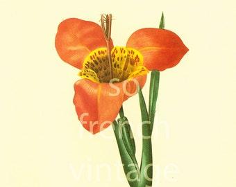 Tigridia Tiger Flower Redoute Botanical Print, Flower For Framing Wall Art  home decor