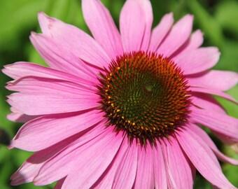 Pink Daisy, Daisy